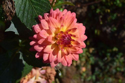 chrizantema gėlė, gėlės, gamta, Chiang Mai Tailandas, Tailandas
