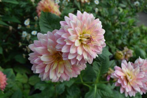 chrizantema gėlė, gėlės, rožinis, Chiang Mai Tailandas, Tailandas