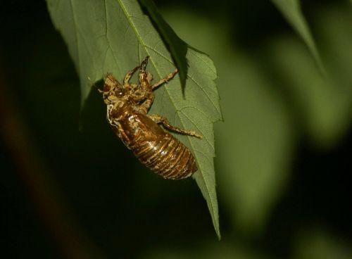 cicada,cicadoidea,vabzdys,eksoskeletas,lydyti,klaidas,laukinė gamta,klaida,mažas,subtilus,trapi,antenos,laukiniai,entomologija,metamorfozė,lauke,gyvenimas,gamta,bestuburiai,lukštas