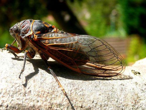 cicada,vabzdžiai,gamta