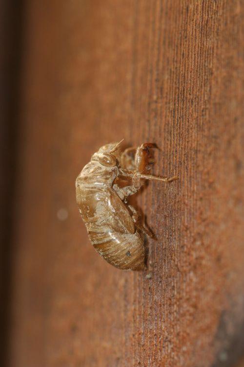 cicada,lukštas,vabzdys,eksoskeletas,klaida,laukinė gamta,sparnas,metamorfozė,lydyti,sausas,tuščia,lukštas,skeletas,oda,pašalinti,tuščiaviduris,zoologija
