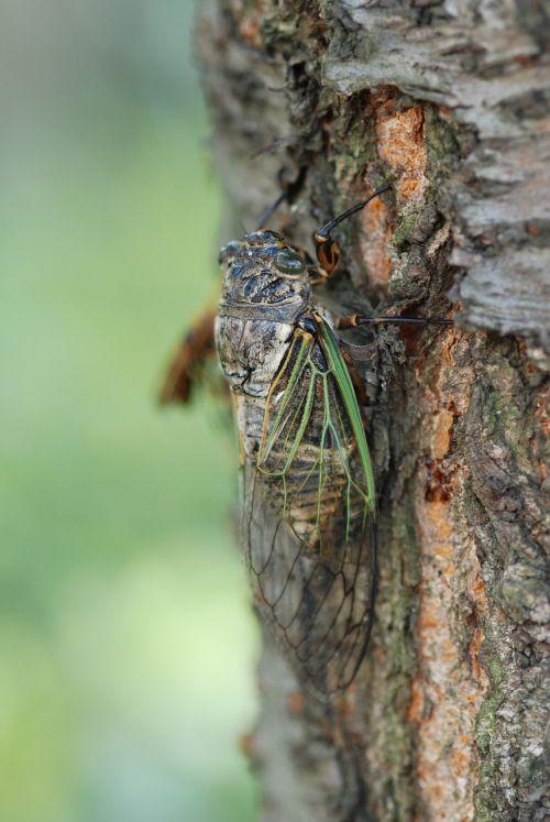 cicada,vasara,vienas gyvūnas,aukšta vasara,žalias,padaras,vabzdys
