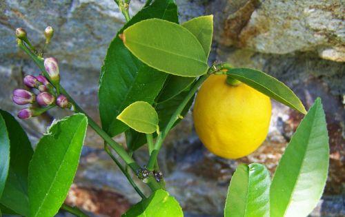 Citronas,citrina,geltona vaisiai