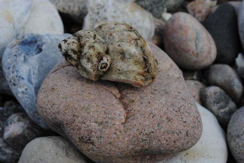 clam,papludimys,privalo