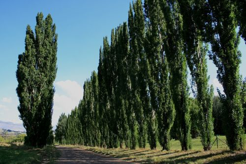 išryškina kraštovaizdį,medžių eilės,medžiai kelyje,purvo kelias,žali medžiai,lombardiniai tuopos medžiai,mėlynas dangus