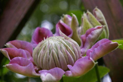 Clematis,žydėti,gėlė,rožinis,dekoratyvinis augalas,gražus,alpinistas,saldus,sodo augalas,gėlių sodas,augalas,budas,flora,egzotiškas,gamta,sodas,žiedlapiai,vasara,dekoratyvinis,žydintis augalas,grožis,kraštovaizdis,sodai