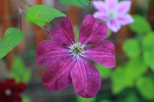 Clematis,gėlė,garbanotas,laipiojimo augalas,garbanotos gėlės,purpurinė gėlė,augalas,vasara,šviesus,Iš arti,gražus,graži gėlė,gyvoji gamta,gėlės,sodo gėlė,violetinė,žydėti,gamta,sodas,vasaros gėlės,sodo gėlės,ryskios spalvos,sodo augalai,gražios gėlės