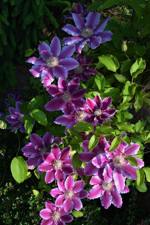 raganė, gėlės, violetinė, violetinė gėlė, augalų, pobūdį, Iš arti, Violetinė, gėlė violetinė, žiedas, žydi, tamsiai violetinė, vasara