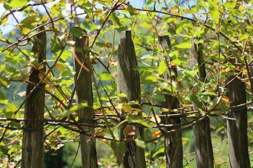 alpinistas,creeper,tvora,medžio tvora,tvora,polių tvora,medinės tvoros,augalas,augimas,rank