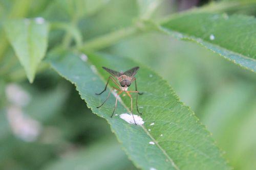 Iš arti,elnias flie,musia,horsefly,augalas,sėdi,geltonos musės,vabzdžiai