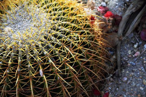 kaktusas, kaktusai, barelė & nbsp, kaktusas, augalas, dykuma, taškas, fonas, tekstūra, modelis, Iš arti, Uždaryti barrelio kaktusą