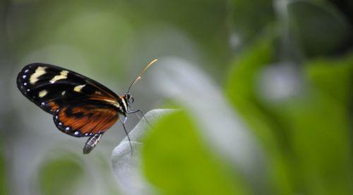 monarchas & nbsp, drugelis, drugelis, drugeliai, juoda, auksas, modelis, gamta, gėlė, gėlės, geltona, žalias, vabzdys, gražus, uždaras monarcho drugelis