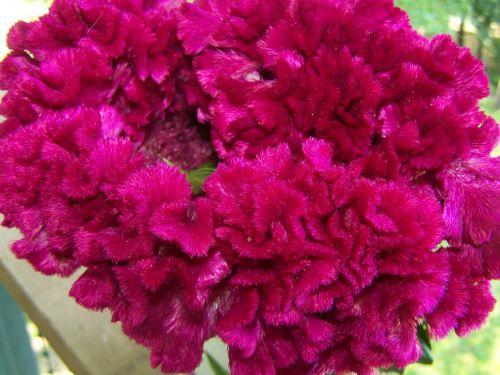 cockscomb, gėlė, gamta, fuksija, rožinis, Fuksija kuprinė