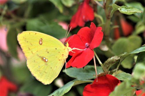gamta, gėlės, raudona, impatiens, raudona & nbsp, impatiens, laukinė gamta, gyvūnai, vabzdžiai, drugelis, geltona, geltona & nbsp, drugelis, debesuota & nbsp, siera, sipping, aptemptas sieros drugelis arti