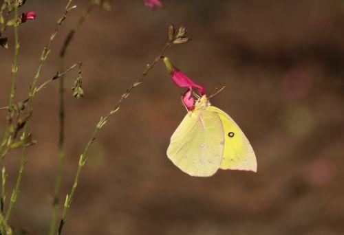 gamta, laukinė gamta, gyvūnai, vabzdžiai, drugelis, geltona & nbsp, drugelis, siera & nbsp, drugelis, debesuota & nbsp, siera & nbsp, drugelis, sparnai, akis, dėmės, sipping, gerti, gėlė, rožinė & nbsp, gėlė, wildflower, rožinė & nbsp, wildflower, ruda & nbsp, fonas, drumstas sieros drugelis
