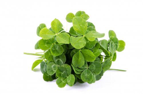 dobilas, šaukštas, lapai, keturi, sėkmė, airiškas, Iš arti, izoliuotas, žalias, balta, simbolis, žiedlapiai, makro, objektas, flora, laimingas, balta & nbsp, fonas, baltas & nbsp, dobilas, gamta, vienas & nbsp, objektas, dobilas