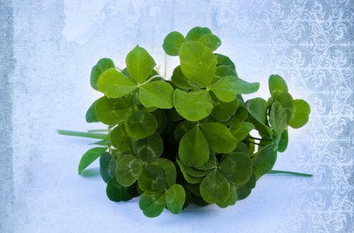 dobilas, šaukštas, lapai, keturi, sėkmė, airiškas, Iš arti, izoliuotas, žalias, balta, simbolis, žiedlapiai, makro, objektas, flora, laimingas, balta & nbsp, fonas, gamta, vienas & nbsp, objektas, dobilas