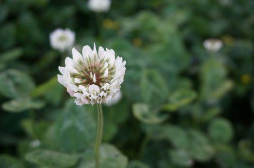 dobilas,laukinės gėlės,pavasaris,kraštovaizdis