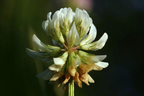 dobilas,balta,łąkowa,gėlė,makro,vienas,pieva,žolė,rosa,Bokeh,natūralus,žalias,gamta,stiebas,augalas,sodas