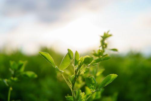 dobilas,cloverfield,saulėtas,augalas,vasara,žalias,gamta,šviežias,dvigubas lapelis,makro,laukas