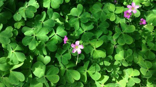 dobilas,gamta,žalias,lapai,natūralus