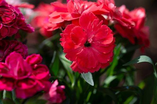 skiltelės, raudona, raudona gvazdikų, gėlė, raudona gėlė, žiedas, žydi, floros, Sodas, Sode, vasara, pobūdį, Iš arti