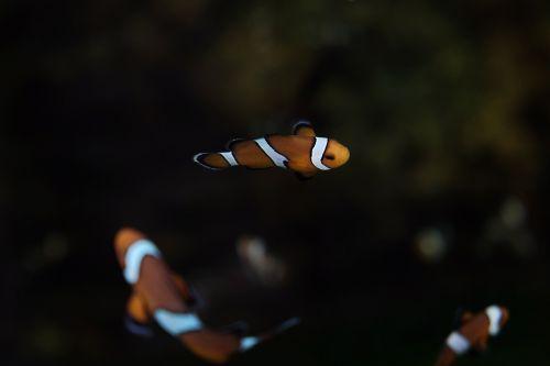 klouna žuvis,sūrus vanduo,klounas,žuvis,akvariumas,povandeninis,atogrąžų,oranžinė,vanduo,vandenynas,laukiniai,laukinė gamta,nemo,makro,Clownfish,dryžuotas,klounas-žuvis,maudytis,tropinė žuvis