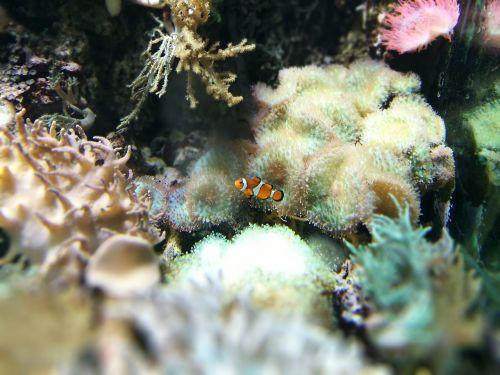 klouna žuvis,hellabrunn,zoologijos sodas,akvariumas,akvariumas,koralai,aktuali