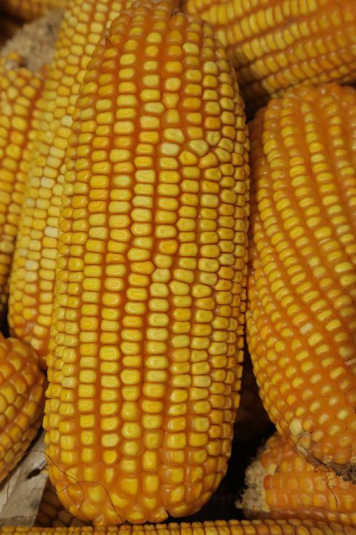 cob,kukurūzai,Žemdirbystė