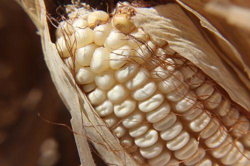 cob,kukurūzai,Žemdirbystė,maistas,derlius