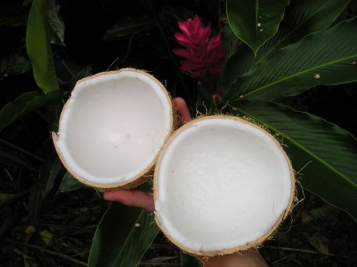 kokoso,gamta,samoa,egzotiškas,Pietų jūra