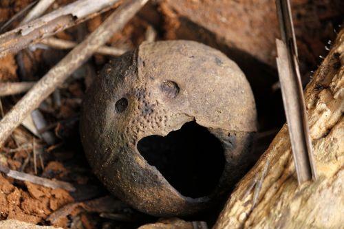 kokoso lukštas,juokingas veidas,juokinga,kokoso,atogrąžų,ruda,veidas,lukštas,pokštas,patrauklus,susijaudinęs,susijaudinęs veidas,žiovulys,žvilgantis veidas
