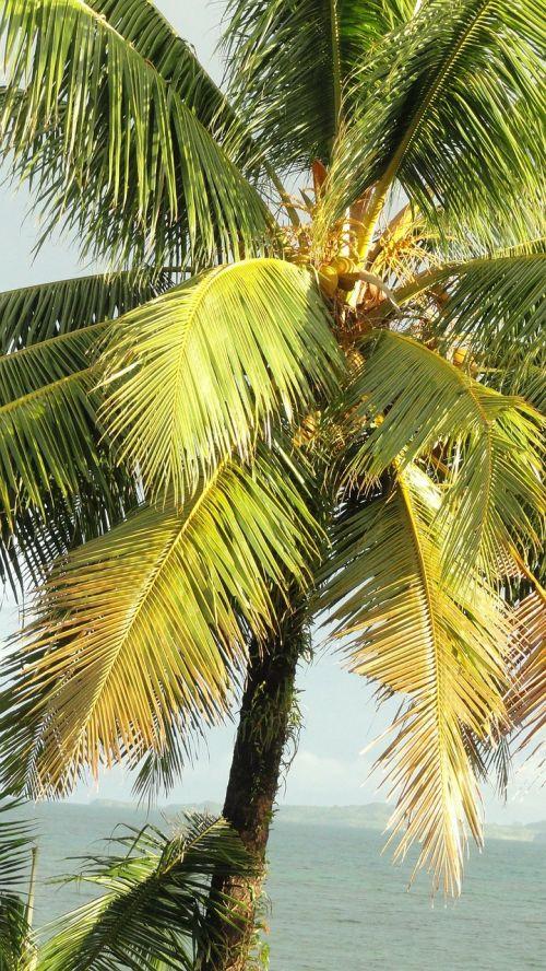 kokoso medis,atogrąžų medis,palmė,medis,ekologiškas,Žemdirbystė,lauke,aplinka,bagažinė,lapai,filialai,gamta