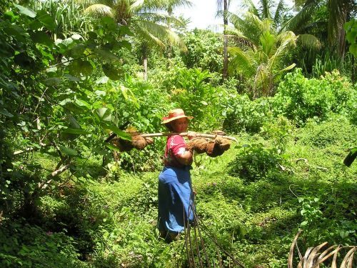 kokosai,derlius,tradiciškai,samoa,egzotiškas,Pietų jūra