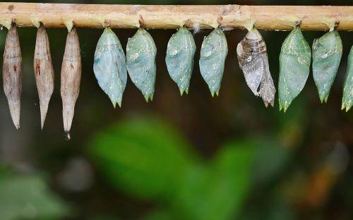 kokonai,lerva,lervos,vabzdžių lervos,makro,gamta,parides iphidamas,drugelis,papilionidae