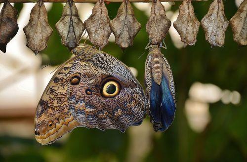 kokonai,drugeliai,lerva,lervos,vabzdžių lervos,makro,gamta,parides iphidamas,drugelis,papilionidae