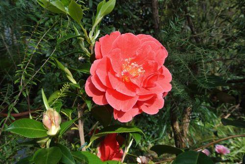 Kelnas, Flora, Raudona, Augalas, Parkas, Gėlė, Spalva, Žydėti, Flora Köln, Gėlės, Pavasaris, Kamelija, Pilnai Žydėti, Gamta, Uždaryti