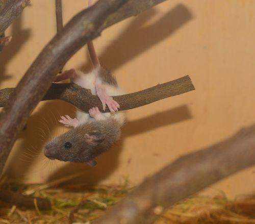 spalvos žiurkė,žiurkė,gyvūnas,graužikas,vaizdas,lipti,žaisti