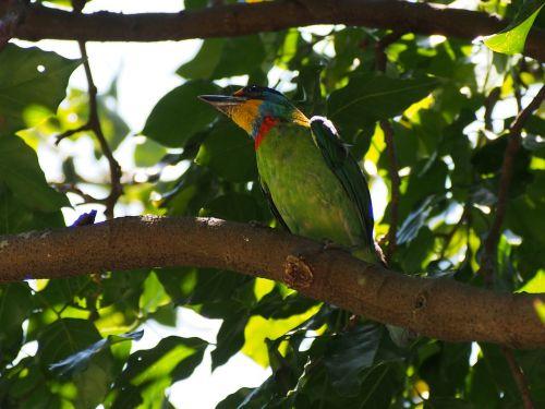spalvoti paukščiai,kvadrato giedras,vienuolis,Mülerio kruopas