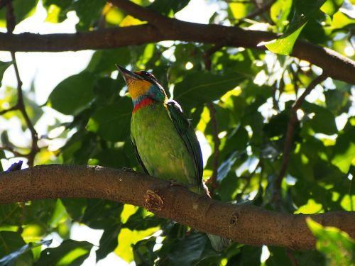 spalvoti paukščiai,vienuolis,kvadrato giedras,Mülerio kruopas