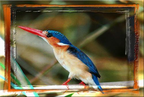 spalvinga,paukštis,gyvūnas,Namibija,afrika,plunksnos,įrėminti