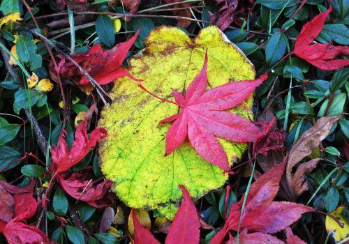 spalvoti kritimo lapai,skirtingi lapai,spalvoti lapai,rausvai rudieji lapai,rudens spalvos,rudens spalvos,kritimo spalva,ruduo,kritimo lapija,lapai,raudona ir geltona,gamta,dažymas,metų laikas,flora,botanika,sodas,tipiškas ruduo,kritimo lapai,pasikeitė
