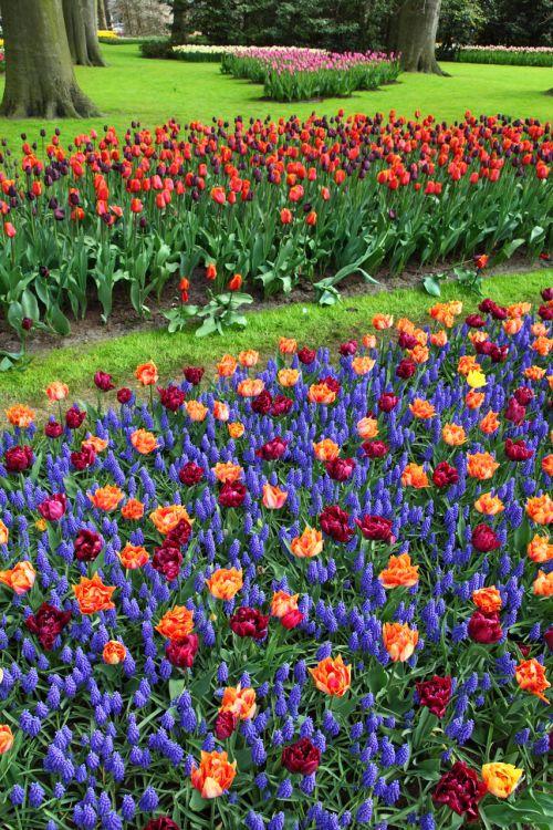 žiedas, mėlynas, spalva, spalvinga, laukas, flora, gėlė, sodas, holland, hiacintas, keukenhof, gamta, parkas, raudona, pavasaris, tulpė, gyvas, žydi spalvingos gėlės
