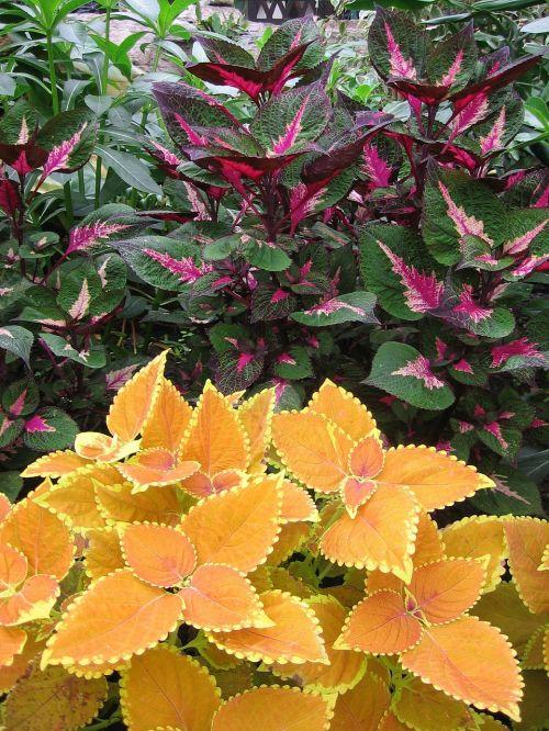 spalvinga dilgėlė,augalas,spalvinga,spalva,lapai