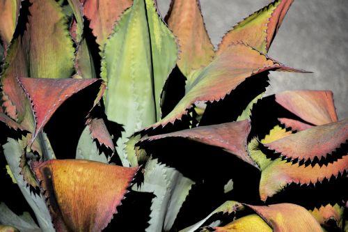 kaktusas, yucca, pažymėtas, spalvinga, fonas, dykuma, augalas, didelis, lapai, spalvotas pažymėtas kaktusas
