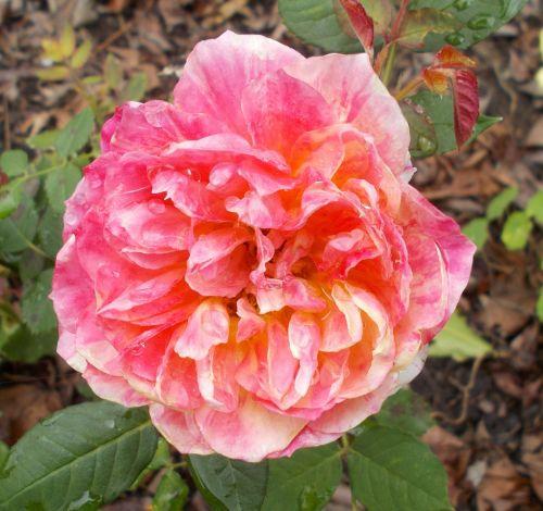 gėlė, rožė, graži, spalvinga, spalvinga, oranžinė, rožinis, žalias, spalvinga rožė