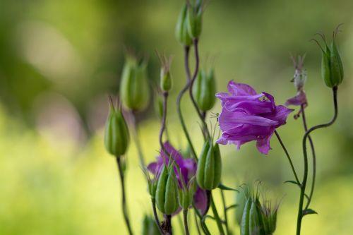 Kolumbinas,gėlė,violetinė,purpurinė gėlė,laukinė gėlė,gėlių sodas,augalas,žiedas,žydėti,gėlė violetinė,budas,gamta,sodas,Sode,aštraus gėlė,Uždaryti
