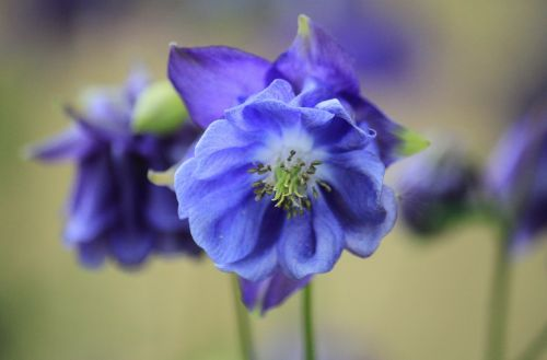 Kolumbinas,žiedas,žydėti,gėlė,gėlių makro,augalas,dekoratyvinis augalas,gėlių sodas,pavasaris,pavasario gėlė,flora,botanika,mėlynas,vidiniai darbai,antspaudas,žiedadulkės,bičių žiedadulkės,makro,Uždaryti,gražus madingas