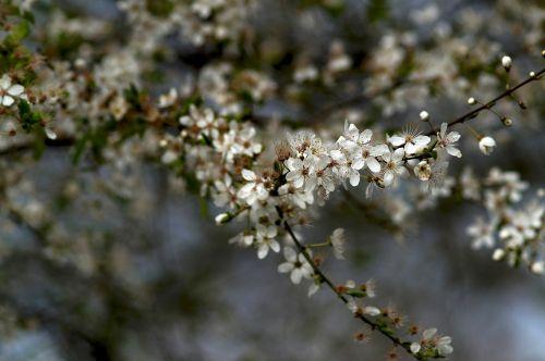 kolonos vyšnios,prunus serrulata,ornamentinis vyšnia,lapuočių medienos augalai,žiedas,žydėti,užpildyti,pavasaris