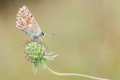 paprasta mėlyna,gamta,makro,drugelis,vabzdys,Uždaryti